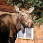 Moose at Neighbors house 4 15 05