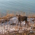 Moose On the Edge